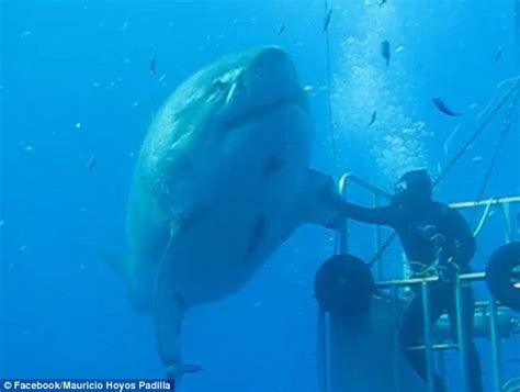 film blue mexico diver high fives 20 foot long shark called deep blue in