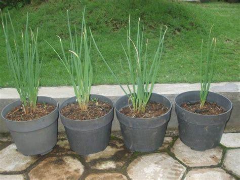 Bibit Tanaman Sayuran Dan Bumbu Parsley bawang prei dalam pot a3online