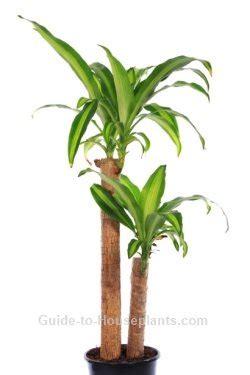 Tanaman Yellow Dracaena corn plant care tips dracaena fragrans massangeana