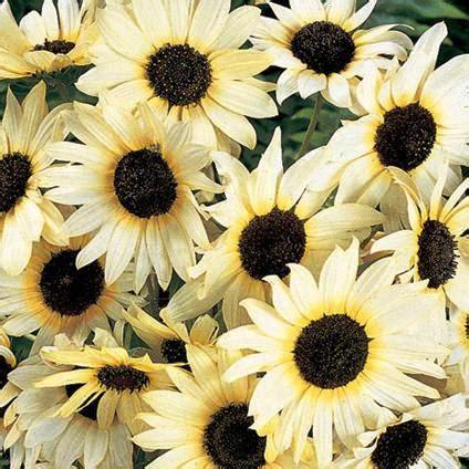 Biji Bunga Sunflower Italian White annuals helianthus debilis italian white sunflower seeds combined shipping worldwide