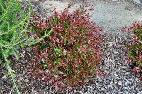 Colourful Foliage Plants - australian native hedges gardening with angus