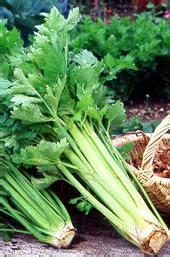 comment cuisiner le c駘eri en branche amapbdm le celeri