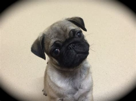 pug puppies for sale in plymouth purebred beautiful kc pug puppy plymouth pets4homes