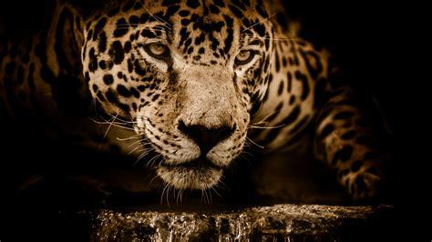 imagenes 4k wallpaper animales wallpaper jaguar hd 4k animals 10785