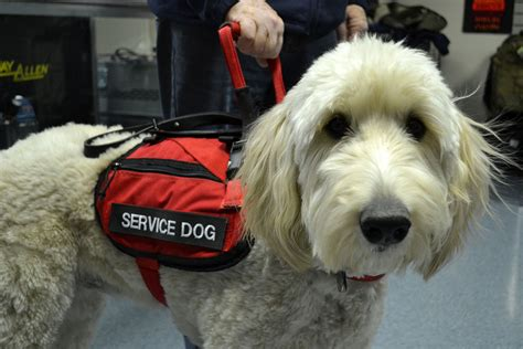 how to get a service dogs service goldendoodle terry farm