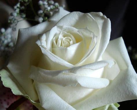 imagenes flores blancas image gallery hermosas rosas blancas