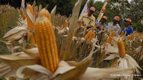 Benih Jagung Hibrida Bisi penjualan benih jagung bisi kuartal ii turun 32