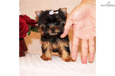 free yorkie puppies near me terrier yorkie puppy for sale near los angeles california 39c3b362 37f1