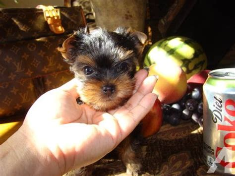 teacup yorkie puppies for sale in bakersfield ca tiny micro teacup akc teacup pomeranian puppies for adoption breeds picture