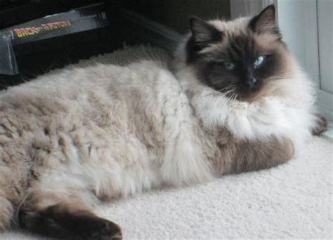 ragdoll 1 year seal point ragdolls mitted colorpoint bicolor lynx