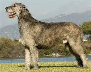 wolfhound colors wolfhound institute of canine biology