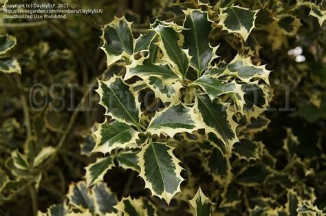plantfiles pictures ilex broad leaved silver
