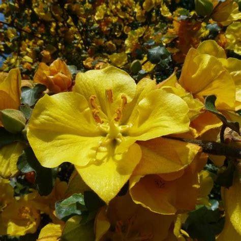 Arbuste Fleurs Jaunes Qui Fleurit Printemps by Arbuste 224 Fleurs Jaunes Liste Ooreka