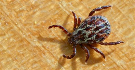 bringing a into canada climate change pushes ticks into canada bringing lyme disease and confusion with