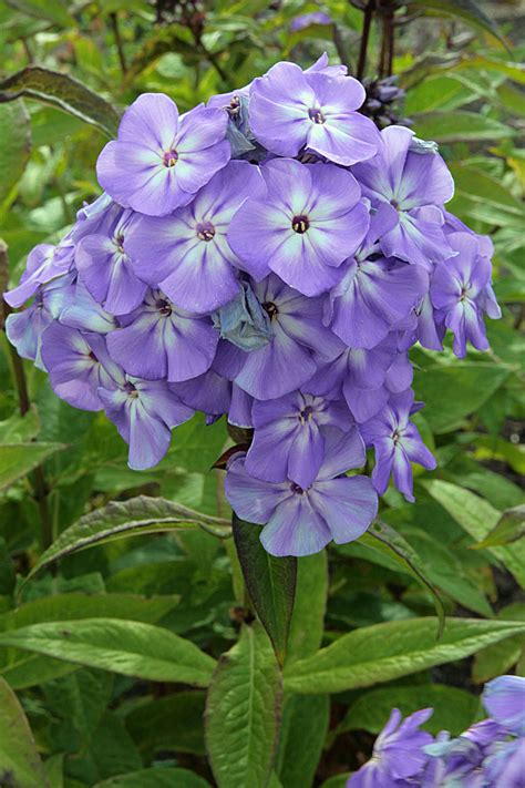 St Blue Boy phlox blue boy garden design ideas