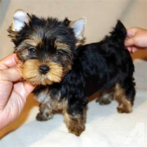 teacup teddy yorkie teddy teacup yorkie puppy for sale in morehead kentucky classified
