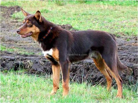 kelpie breed australian kelpie dogs australian kelpie breed