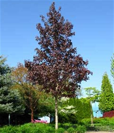 King House Maple Shade by Crimson Sunset Maple Knecht S Nurseries Landscaping