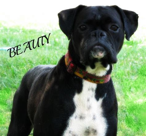 boxer puppies for sale in ct black boxer breeders images
