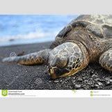 Hawaiian Sea Turtle Clipart | 1300 x 957 jpeg 171kB