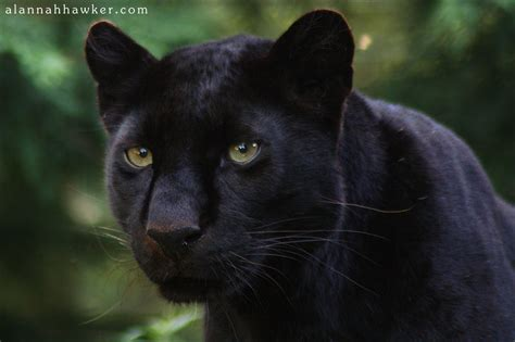 Black Panthers Also Search For Black Panther Cat