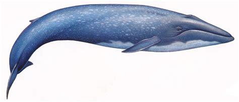 balena alimentazione il tirreno centrale 232 utilizzato come area di