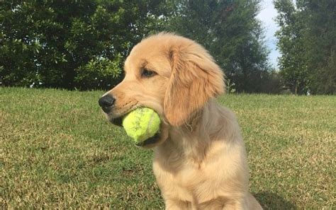 cancer free golden retriever breeders golden retriever puppy www pixshark images galleries with a bite