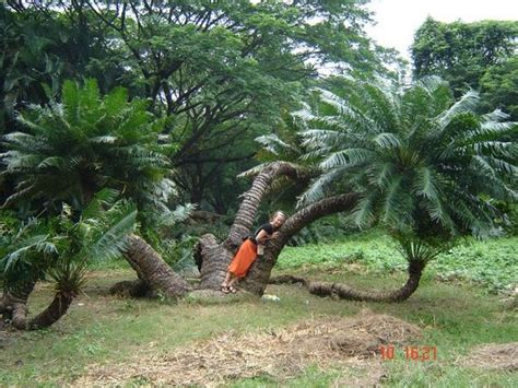 Botanical Gardens India Great Banyan Tree Indian Botanic Garden Shibpur Howrah Picture Of Acharya Jagadish Chandra
