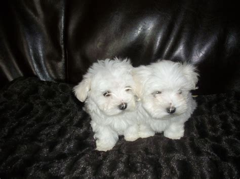 maltese terrier puppies for sale adorable maltese terrier puppies for sale wigan greater manchester pets4homes