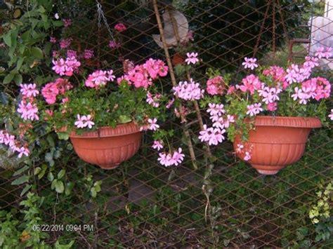 fiori lidl gerani francesini lidl forum di giardinaggio it