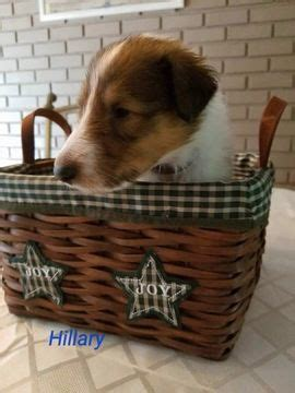 collie puppies for sale in pa best 25 collie puppies for sale ideas only on border collies for sale