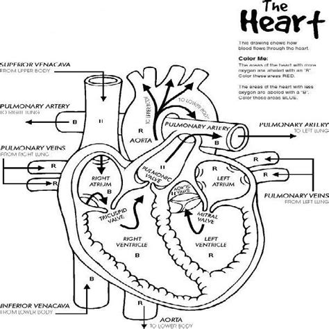 free coloring pages of heart anatomy