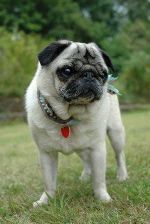 breeds like pugs pug dogs dogslife breeds magazine