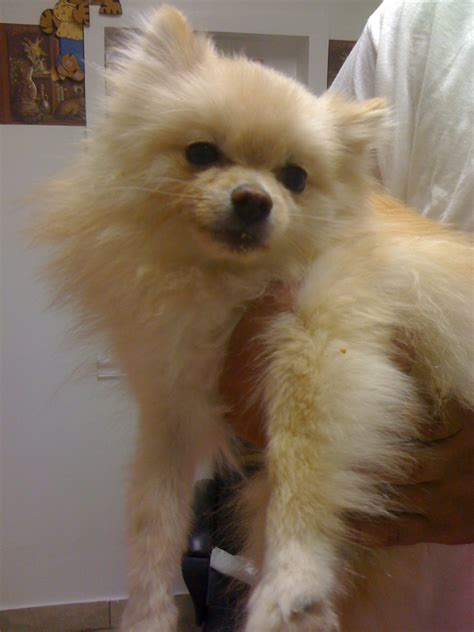 oldest pomeranian bichon and pomeranian mix for sale breeds picture