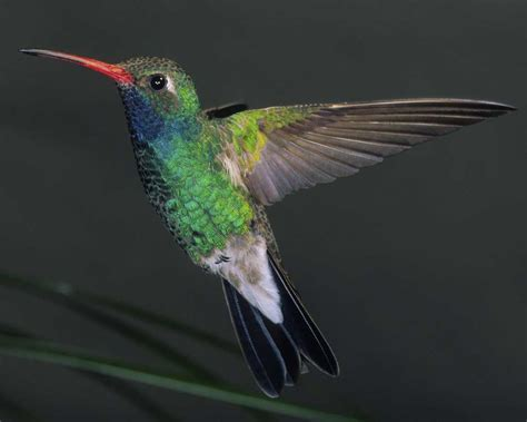 broad billed hummingbird audubon field guide