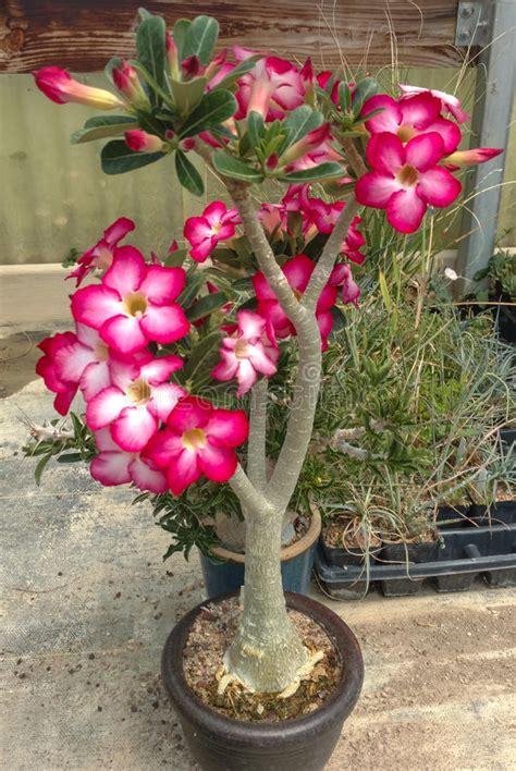 pianta grassa con fiori rosa pianta grassa fiori rosa fotografia stock immagine di