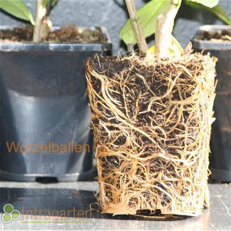 Immergrüne Pflanzen Sichtschutz 2396 by 2 Meter Kirschlorbeer Caucasica Hecke Immergr 252 N Und