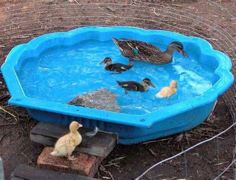 backyard duck backyard poultry information centre australia