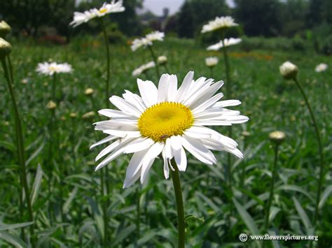 daisy flower shasta daisy flowers picture