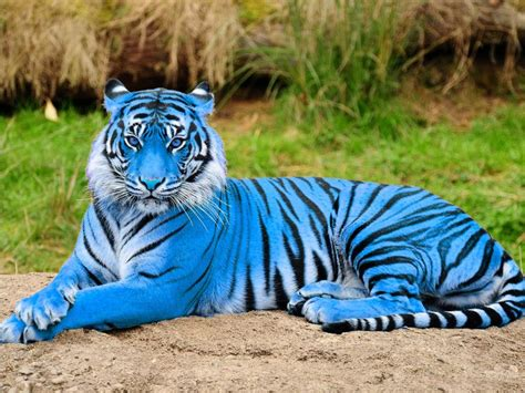Blue Tiger 27 best images about blue tigers on