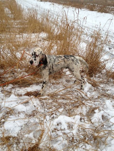 english setter dog food 183 best images about english setter love on pinterest