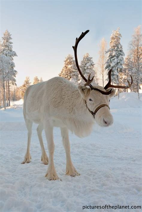 how to get raindear anters white grandjunctionbroker reindeer shed their antlers at the end of the mating season in early