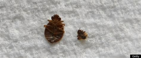 dead bed bug dead bed bugs related keywords dead bed bugs long tail