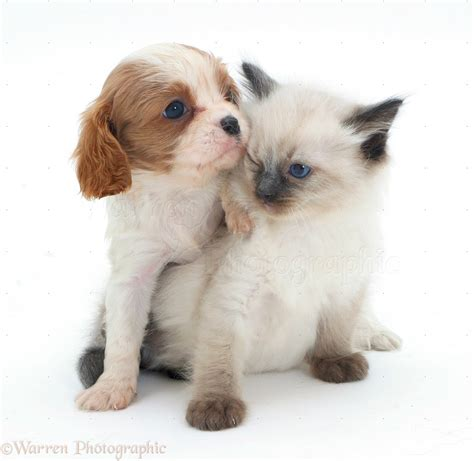 ragdoll puppies ragdoll kittens and cavalier puppies foto 2017