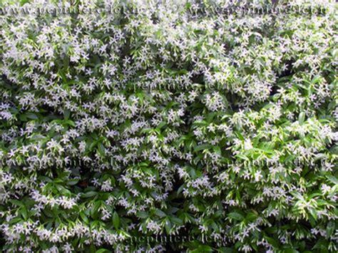 Plante Grimpante Qui Pousse Vite by Trachelospermum Jasminoide Faux P 233 Pini 232 Re Lcf