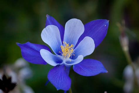 colorado columbine flowers hd wallpaper 2015