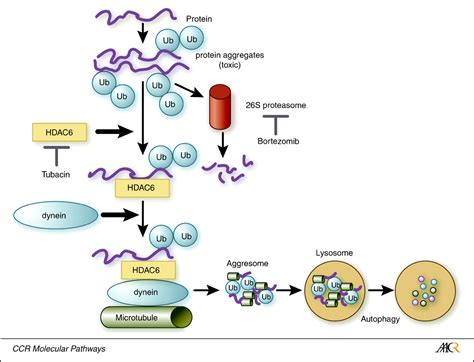protein degradation intracellular protein degradation and its therapeutic