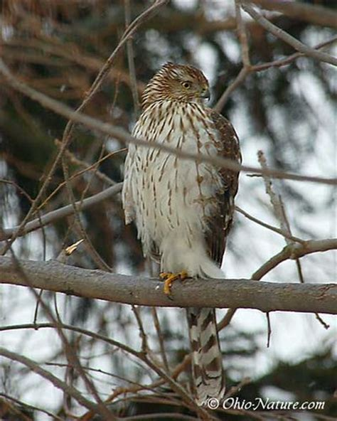 birds of prey ohio and birds on pinterest