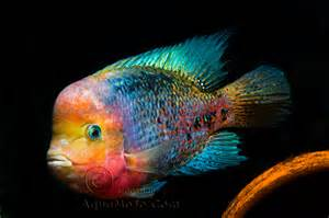 Fish african cichlids on pinterest cichlids african cichlids and