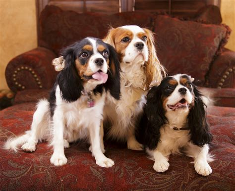 cavalier king charles spaniel puppies for sale phoenixcavaliers puppies for sale phoenixcavaliers